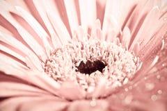 Macro photo de fleur de gerbera avec la baisse de l'eau Photo stock