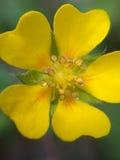 Macro photo de fleur jaune dans le jour pluvieux Photographie stock