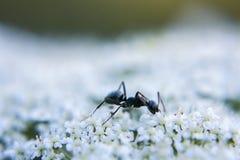 Macro photo de fourmi sur la Reine Anne& x27 ; dentelle de s Photo stock
