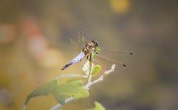 Macro photo de libellule sur le congé Image libre de droits