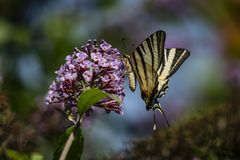 Macro photo de matin de papillon de ` de podalirius d'Iphiclides de ` de queue d'hirondelle photographie stock libre de droits