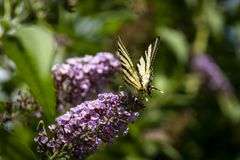 Macro photo de matin de papillon de ` de podalirius d'Iphiclides de ` de queue d'hirondelle image libre de droits