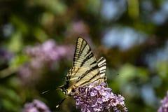 Macro photo de matin de papillon de ` de podalirius d'Iphiclides de ` de queue d'hirondelle sur le buisson fleurissant du davidii photos stock