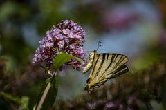 Macro photo de matin de papillon de ` de podalirius d'Iphiclides de ` de queue d'hirondelle sur le buisson fleurissant du davidii photo libre de droits