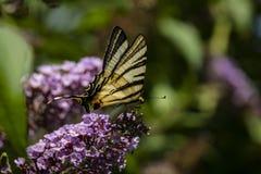 Macro photo de matin de papillon de ` de podalirius d'Iphiclides de ` de queue d'hirondelle sur le buisson fleurissant du davidii photographie stock libre de droits