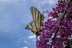 Macro photo de papillon de podalirius d'Iphiclides de queue d'hirondelle sur le buisson fleurissant du davidii de Buddleja image libre de droits