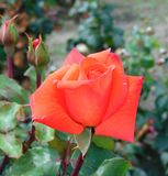 Macro photo with a decorative backdrop garden Bush roses Royalty Free Stock Photography