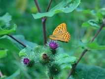 Macro photo with a decorative background of a beautiful butterfly. On herbaceous forest plants as a source for design, printing, advertising, prints, interiors Royalty Free Stock Images