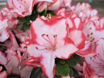 Macro photo with a decorative background of beautiful flowers on the branches of rhododendrons royalty free stock photography
