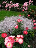 Macro photo with a decorative background beautiful flowers roses. For garden and Park greenery and floristry as a source for design, advertising, prints Royalty Free Stock Photography