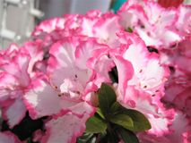 Macro photo with decorative background of delicate white with pink edging of flower petals on rhododendron shrub branches royalty free stock photos