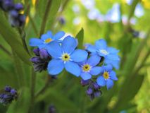 Macro photo with decorative background texture of beautiful delicate flowers Myosótis or forget-me-not Royalty Free Stock Photos