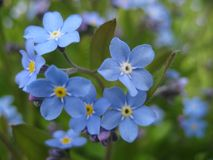 Macro photo with decorative background texture of beautiful delicate flowers Myosótis or forget-me-not Stock Photography