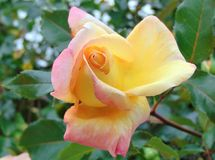 Macro photo with a decorative background texture of a beautiful flower Bush assorted yellow roses. With delicate petals in the green foliage of the branches for Royalty Free Stock Photos