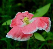 Macro photo with a decorative background texture of beautiful flower poppy flower. With petals of delicate pink tint in the drops of summer rain as the source Royalty Free Stock Photography