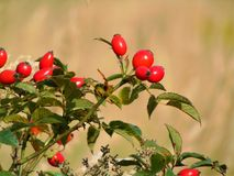 Macro photo with a decorative background texture of bright red berries forest bushes of wild rose hips, Royalty Free Stock Photo