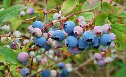 Macro photo with a decorative background texture of ripening tasty blue fruits of Amelanchier. Macro photo with a decorative background texture of ripening tasty Royalty Free Stock Photography