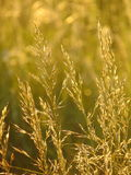 Macro photo with a decorative background texture of wild grass in a Sunny Golden light stock images