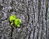 Macro photo with decorative background of tree bark texture and new young green leaves of Linden tree Stock Photo