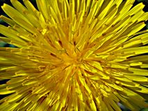 Macro photo with decorative background of unique structure of natural wild field dandelion flower Stock Photography