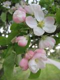 Macro photo with decorative background of white flowers on a branch of a blossoming spring tree of an Apple tree Royalty Free Stock Images