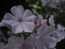 Macro photo with decorative flowers Phlox with white petals for garden landscape design Stock Photo