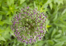 Macro photo of decorative garlic violet flower Royalty Free Stock Images