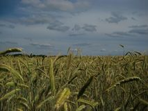 Macro photo with a decorative landscape background of a summer day, gloomy grey sky before a thunderstorm and rain. With views of the countryside and spikelets royalty free stock photos