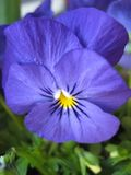 Macro photo with decorative light background of beautiful spring flowers viola plants tricolor purple shades for landscaping. And landscape design as a source stock images