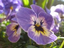 Macro photo with decorative light background of beautiful spring flowers viola plants tricolor purple shades for landscaping. And landscape design as a source royalty free stock image