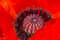 Seed head of flowering decorative poppy close-up royalty free stock photography