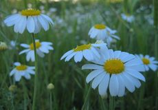 Macro photo with a decorative texture background beautiful wild flowers of the medicinal herb chamomile. As a source for advertising, prints, design, decoration Stock Photos