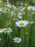 Macro photo with a decorative texture background beautiful wild flowers of the medicinal herb chamomile. As a source for advertising, prints, design, decoration Royalty Free Stock Photo
