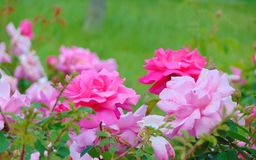 Macro photo with a decorative texture background garden beautiful delicate spray of flowers roses. With petals of a pink shade of color as the source for design Stock Photo