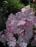 Macro photo of delicate flowers Phlox as a symbol of success, purity, longevity Stock Image