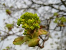 Macro photo des fleurs de floraison de ressort et des feuilles vertes d'un arbre Photo libre de droits
