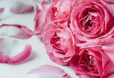 Macro photo des roses roses avec des gouttelettes d'eau Symbole de l'amour Photo stock