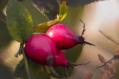 Macro photo of dog rose fruit stock photo