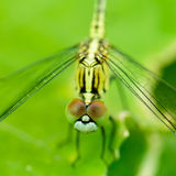 Macro photo of dragonfly on leaf, dragonfly is insect in arthrop. Oda phylum, Insecta, dragonfly are characterized by large multifaceted eyes, two pairs of Royalty Free Stock Photos