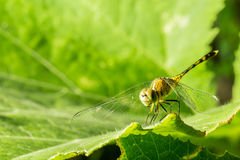 Macro photo of dragonfly on leaf, dragonfly is insect. Royalty Free Stock Photo