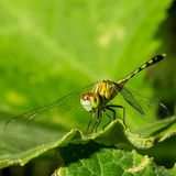 Macro photo of dragonfly on leaf, dragonfly is insect. Macro photo of dragonfly on leaf, dragonfly is insect in arthropoda phylum, Insecta, dragonfly are Royalty Free Stock Photo