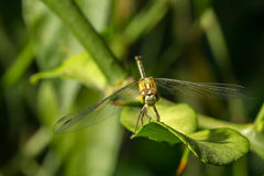 Macro photo of dragonfly on leaf. Dragonfly is insect in arthropoda phylum, Insecta, dragonfly are characterized by large multifaceted eyes, two pairs of Stock Photo