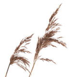 Macro photo of dry coastal reed isolated on white Stock Photography