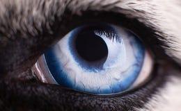 Macro photo du chien enroué sibérien d'oeil bleu Fermez-vous vers le haut de l'oeil bleu images stock