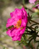 Macro photo du travail des abeilles Photographie stock