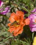 Macro photo du vol d'abeille sur la fleur Photo stock