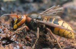 Macro photo of an european hornet, Vespa crabro feeding on sap on oak. This large insect is a predator Royalty Free Stock Photo