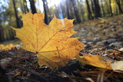 Macro photo of a fallen leaves. In autumn forest Royalty Free Stock Photo