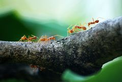 Macro Photo of Five Orange Ants Stock Images