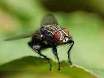 Flesh fly Sarcophaga Royalty Free Stock Image